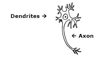 dendrites and axon